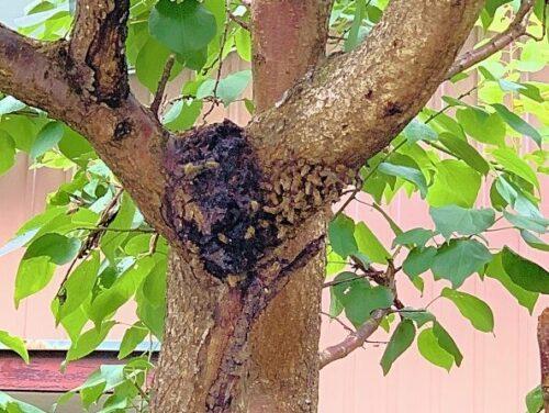 一軒家の庭の木にできた蜂の巣を即日駆除!